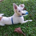 Esta perra cazadora se perdió el 11 de enero en el barrio Sotomayor. Como característica tiene dos manchas en las orejas y una mancha marrón en la parte donde comienza la cola. Informes al 317 6427570 o 6570131.