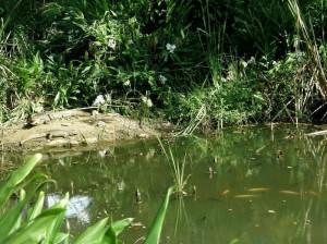 Esta imagen fue tomada la semana pasada. Además de babillas y mojarras, en la zona también hay iguanas.