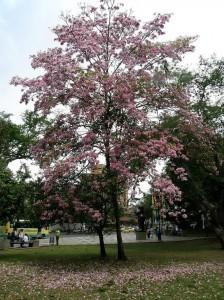 El parque San Pío también se vio colorido por este guayacán.