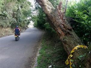 En la vía a Pan de Azúcar, por Terrazas, este árbol amenaza con caer sobre algún vehículo o motociclista, como se observa en la foto.