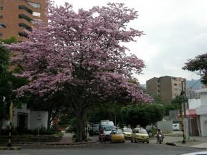 En la avenida González Valencia con calle 53 también hay otro árbol florecido.