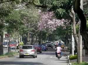 Guayacán en la avenida González Valencia entre la calle 56 y la 27.