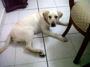 Un perro de raza labrador, de color dorado.