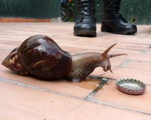 Señalan invasión de caracoles en el sector
