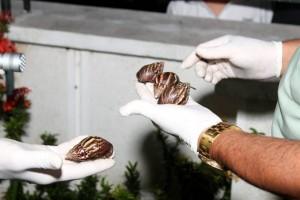 Aparición del caracol gigante africano en casas del sector.