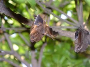 Vecinos alertan de la presencia de murciélagos cerca a sus casas.