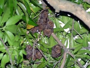 En frutales y árboles frondosos permanecen los murciélagos.