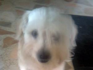 Este perro blanco y de edad avanzada se perdió esta semana.
