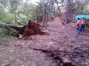 El hundimiento produjo la caída de un caracolí, en el terreno contiguo a la quebrada La Iglesia.