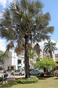 Palmera de Bismarck (Bismarckia nobilis), originaria de Mada-gascar, que con sus verdes claros da un tono más cálido al sitio.