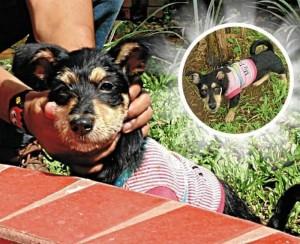 Este otro fue hallado esta semana en cercanías del parque San Pío, quien sepa de sus dueños puede comunicarse al 6903232 o al celular 313 2612691.