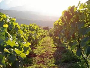 El viñedo de la familia Rangel está ubicado en Zapatoca.