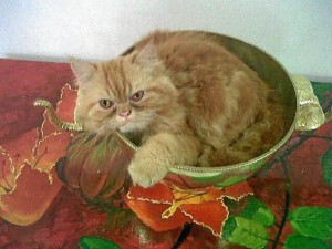 Garfield, mascota perdida en San Pío.