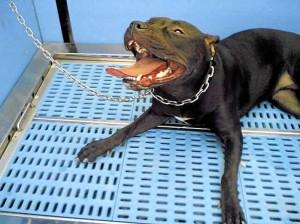 La Ley también aclara que los perros potencialmente peligrosos son aquellos que hayan tenido episodios de agresiones a personas y otros perros.