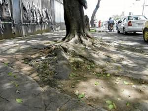 El andén de la calle 45 con carrera 27 se encuentra en ese estado debido al crecimiento de este gran árbol.