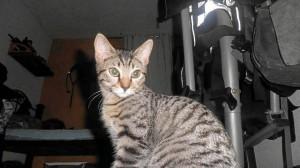 Esta es una de las gatas que busca un hogar.