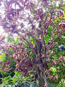 Las ramas están totalmente secas.