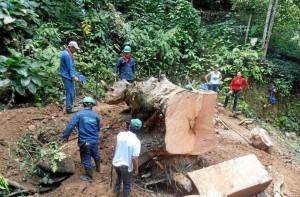 Motosierras y herramientas fueron necesarias para retirar la raíz.