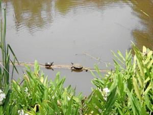 Las tortugas (de varias edades) salen a tomar en sol en esta represa. (Foto Tatiana Celis)