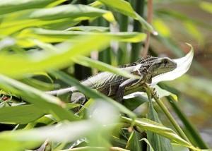Las iguanas de variadas especies también habitan aquí.