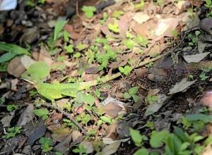 Las iguanas de variadas especies también habitan aquí.(Foto Javier Gutiérrez)