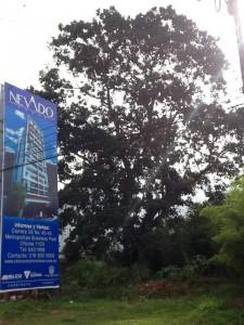 Este es el árbol qu elos vecinos quieren proteger. - Suministrada / GENTE DE CABECERA