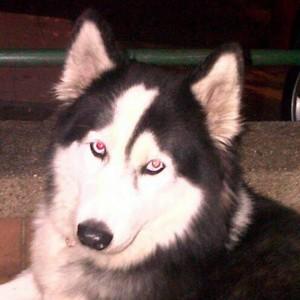 Este fue el lobo siberiano que fue blanco de ataque por parte del dueño de otro perro. - Suministrada /GENTE DE CABECERA