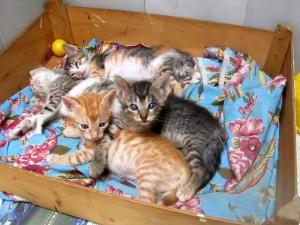 Como estos gatos hay muchos más en la Gatera Doña Felisa esperando un hogar que los adopte. - Suministrada /GENTE DE CABECERA