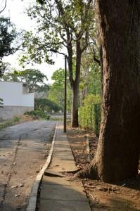 Algunos de los árboles que bordean la carretera hacia Las Colinas son caracolíes.