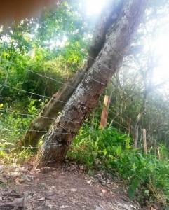 Este es el árbol que el Periodista del Barrio menciona. - Suministrada /GENTE DE CABECERA