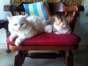Gato persa blanco extraviado.