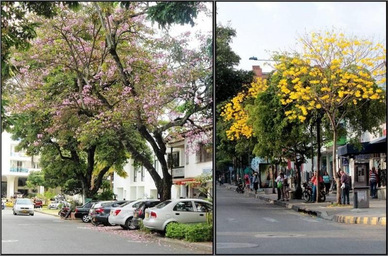 """Estos altos y frondosos árboles se embellecen con sus flores rosadas y amarillas que al caer forman un tapete sobre la carrera 30 entre calles 51 y 52, y en la carrera 33 con calle 48 (amarillas). """"Cuidemos y conservemos estas especies, no permitamos más talas"""", dijo una transeúnte de la zona."""