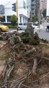 Este fue el árbol talado. - Suministrada Jorge González / GENTE DE CABECERA