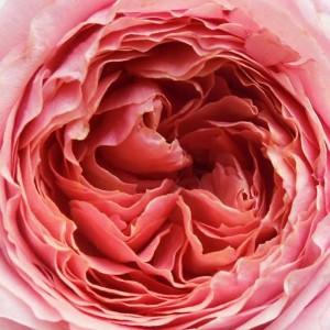 Rosa 'Romantique'