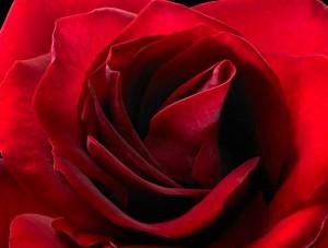 Rosa 'Alelluia'