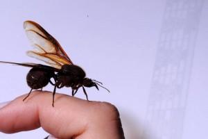 La hormiga culona es insignia de la cultura y gastronomía santandereana. - Archivo / GENTE DE CABECERA
