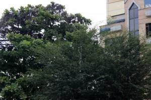 Las luminarias son tapadas por las ramas de los árboles, generando inseguridad en la zona. - Fabián Hernández / GENTE DE CABECERA