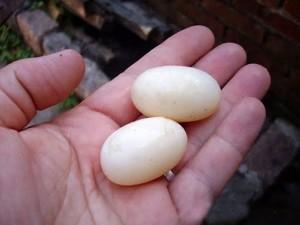 Según páginas especializadas, los huevos de tortuga contienen 20 veces más colesterol que los de gallina. - Tomada de Internet / GENTE DE CABECERA