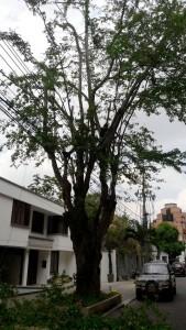 El árbol era alto y frondoso y le fueron mutiladas muchas ramas. - Suministrada / GENTE DE CABECERA