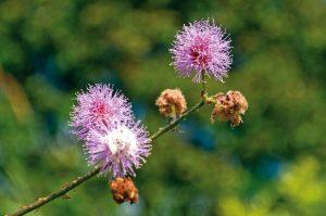 Nombre común: dormidera Nombre científico: Mimosa púdica