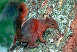 Nombre común: ardilla. Nombre científico: Sciurus vulgaris