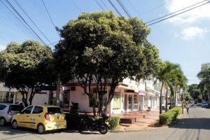 Los dos árboles de especie Oití, ubicados en la calle 53 #34-47, están tocando los cables de la luz y cableado telefónico, además de ser hábitat de murciélagos, como se reporta. - Javier Gutiérrez/GENTE DE CABECERA