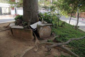 También las raíces han sobrepasado la capacidad de la jardinera donde fue sembrado. - Javier Gutiérrez/GENTE DE CABECERA