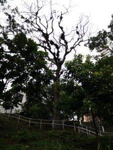 El árbol en riesgo está ubicado en la intersección de la calle 46 con la carrera 40. - Suministrada/GENTE DE CABECERA