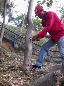 Con el crecimiento de los árboles y ensanchamiento de sus troncos, estos quedaban estrangulados con la guaya que se usa para asegurar la etiqueta. - Suministrada/GENTE DE CABECERA