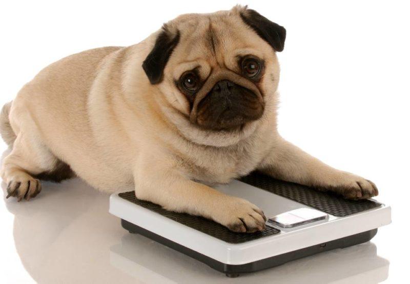 Algunas razas de perro como Beagle, Labrador, Cocker Spaniel, Bulldog, Golden Retriever, entre otros, son más propensos a sufrir de obesidad. Es decir, si usted tiene una mascota de estas razas debe prestar especial atención a la alimentación y hábitos de conducta de la mascota para evitar obesidad. - Banco de Imágenes / GENTE DE CABECERA