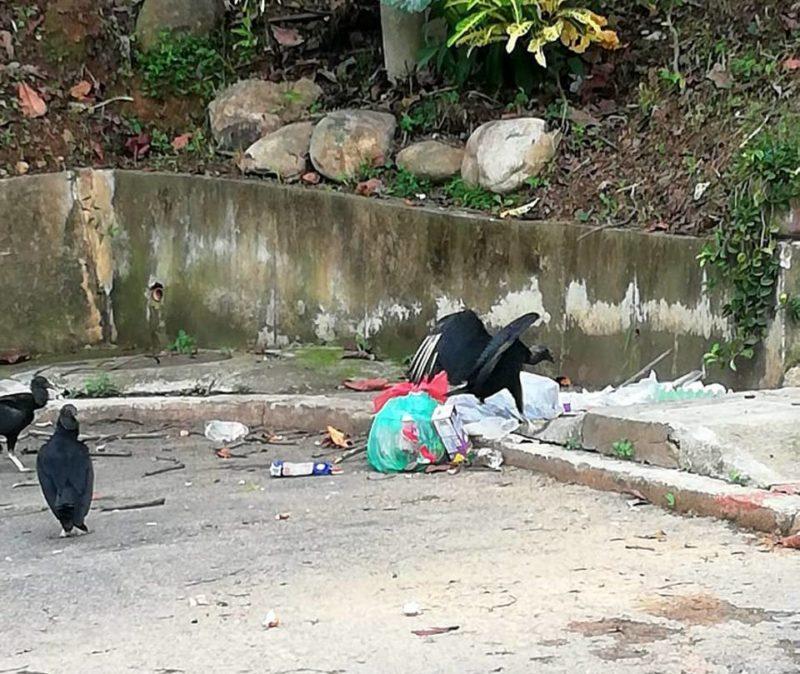 Malos olores y presencia de gallinazos son los problemas que los residentes de Terrazas y La Floresta deben soportar, por la irresponsabilidad de algunos vecinos que sacan la basura antes del horario establecido. - Suministrada / GENTE DE CABECERA
