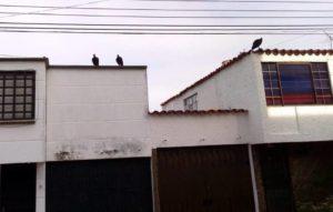Desde temprano los techos de las casas de Terrazas y La Floresta son invadidas por chulos atraídos por la basura. - Suministrada / GENTE DE CABECERA