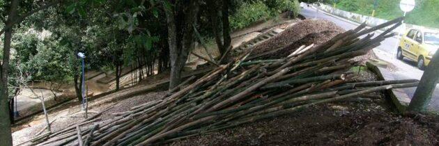 ¿Para qué trajeron los bambúes?