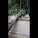 Caída de árbol en La Flora